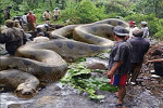 Biggest Snake Found In Amazon River