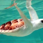 Rare albino turtle found on Australia