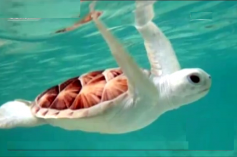 A Rare Albino Turtle Found on Australia Beach