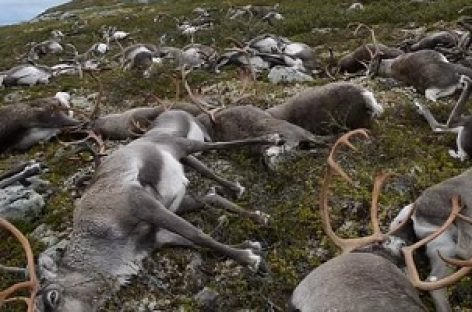 323 Norway Reindeer Killed by Lightning Strike