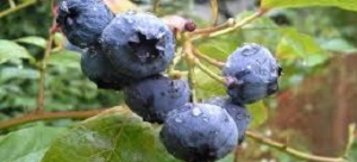 7 Amazing Health Benefits of Bilberry That Can Change Your life