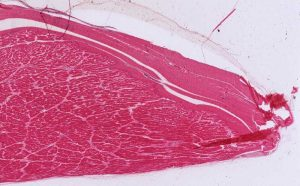 scientists create muscles