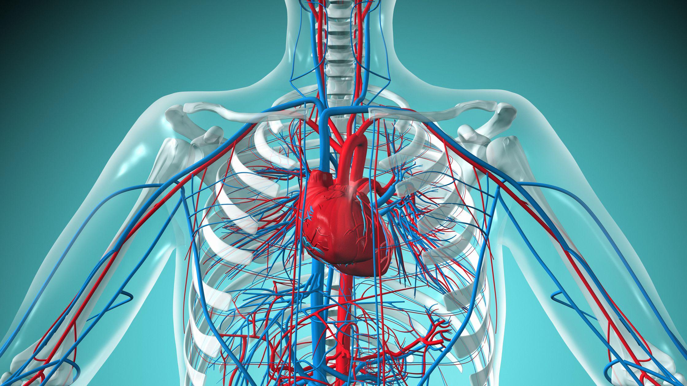 Heathy Cardiovascular System
